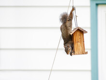 North American Eastern Grey Squirrel Hanging Upside Down Stealing Bird Seed From Bird Feeder