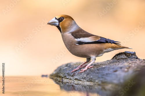 Carta da parati Hawfinch male bird drinking on blurred background