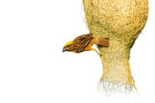 Male Baya Weaver Perching On The Nest