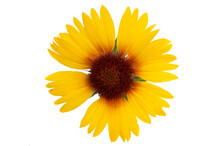 Gaillardia Flowers Isolated