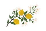 Blooming lemon tree branch with yellow citrus fruits, blossomed flowers and leaves. Plant with ripe fruitage. Modern botanical flat graphic vector illustration isolated on white background