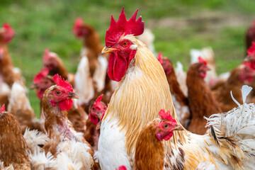 chicken in free range outdoor
