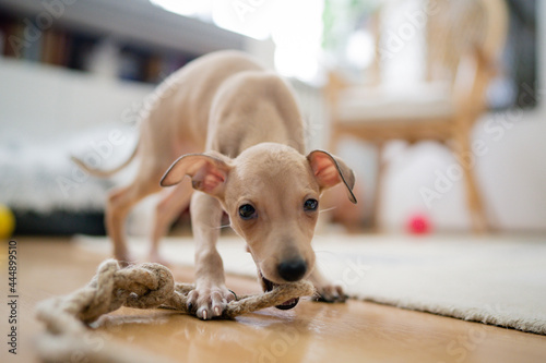 Little brown Italian Greyhound dog playing with toy at home Fototapet