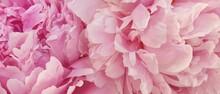 Peony Petals Pink Rose Flowers