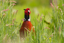 Ring-necked Pheasant (Phasianus Colchicus) Male Showing His Beautiful Colors In The Courtship Period In A Meadow In Gelderland In The Netherlands. Green Background