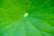 クローズアップした蓮の葉と雨粒 【close-up Lotus Leaves And Raindrops】