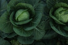 Cabbage Grows. Farming And Agriculture. Cabbage Grows In The Garden. Home Gardening