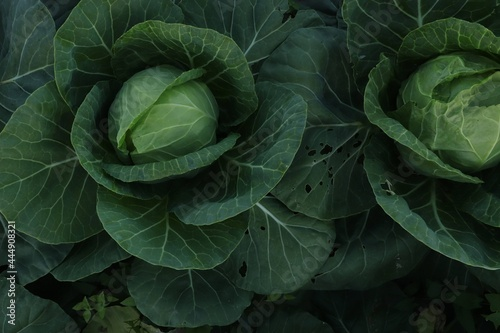 Canvas cabbage grows