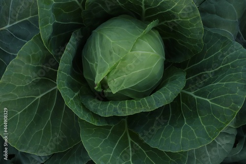 Foto cabbage grows