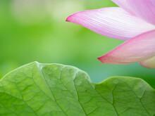透明感のある蓮の花びら 7月