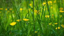 Selective Of Bulbous Buttercup (Ranunculus Bulbosus) Flowers In The Field