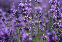 Lavender, Flower, Purple, Nature, Plant, Field, Flowers, Garden, Summer, Violet, Herb, Aroma, Green, Macro, Floral, Lavandula, Bloom, Blossom, Herbal, Aromatherapy, Natural, Blooming, Flora, Spring, A