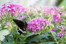 Close-Up Of Common Mormon (Papilio Polytes) Butterfly Drinking Nectar Of A Pink Flower.