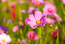 Beautiful Pink Color Cosmos (Mexican Aster) Flower Background