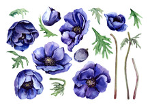 Set Of Isolated Elements Of Blue Anemone Garden Flowers, Buds, Green Leaves And Stems. Flower Collection. Hand Drawn Watercolor On White Background For Design Of Wedding Invitations, Cards, Banner.