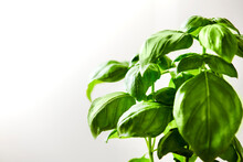 Detail Image Of A Fresh Basil Plant Against A White Wall.