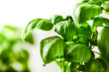 Two Basil Plants Against A White Wall