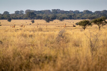 Herd Of Red Hartebeest On The African Plain.