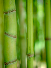 Bamboo forest in the park, green natural background.
