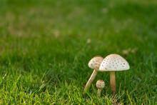 Mushrooms On The Lawn.