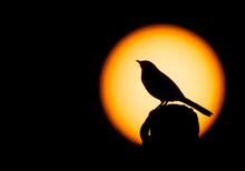 Chalk-browed Mockingbird Silhouette