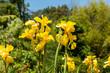 Beautiful yellow Canna flower in New Zealand's wilderness