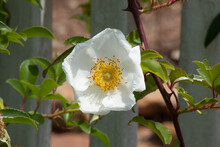A Cherokee Rose Blooming In The Sunshine