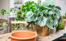 Zimmerpflanzen Peperomia Watermelon Umgeben Von Anderen Zimmerpflanzen