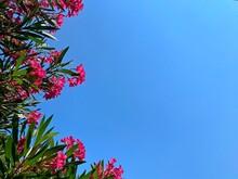 Pink Oleander Azalea Flowers Against Clear Blue Summer Sky. Beautiful Oleanders In Tropical Garden Against Blue Heaven.