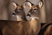 Two White-tailed Deer, Very Alert And Attentive To The Actions In The Distance, In The Woods Near Hartford, Wisconsin In Mid-February