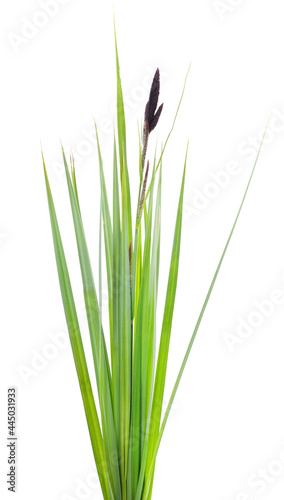 Photo Bunch of green sedge with flower.