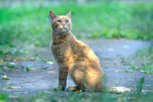 Portrait Of A Ginger Cat With Green Eyes Outdoors With A Blurred Natural Background. Selective Focus