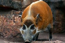 Portrait Of Red River Hog . Potamochoerus Porcus . Wild Pig Living In Africa