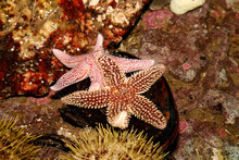 Starfish Underwater In A Tide Pool Off Maine