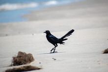 Black Grackle Bird On The Windy Beach At The Ocean Shore Walking In The Sand In Front Of The Water