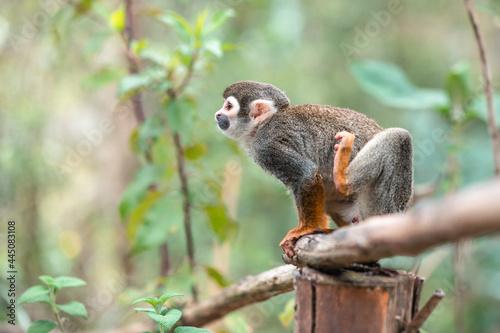 Wallpaper Mural Common squirrel monkey (Saimiri sciureus) on tree