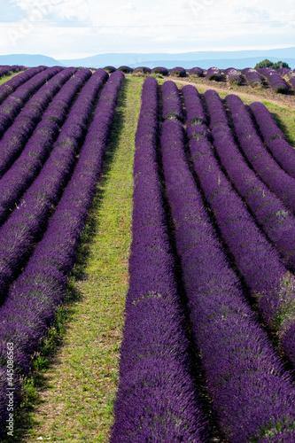 Fototapeta Lavender field in europe france provence valensole - summer season and fragrance
