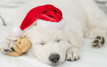 White Swiss Shepherd Puppy Wearing  Red Santa Hat Sleeps With Favorite Toy Bear Under White Warm Blanket On A Bed At Home