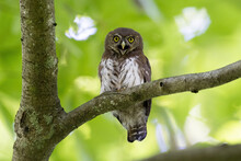 Selective Focus Shot Of A Gray And White Cuban Pygmy Owl With Big Eyes Sitting On A Tree Branch