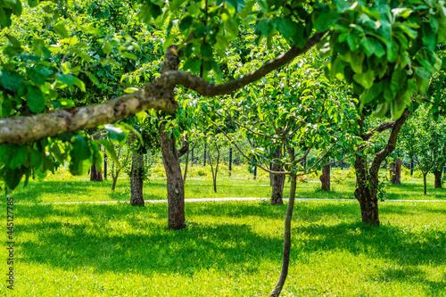 Obraz na plátně A row of fruit trees without fruit
