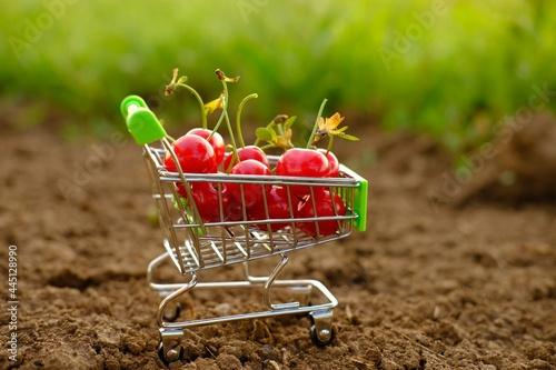 Fototapeta a red ripe cherry in a trolley of cherries