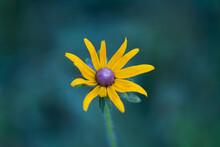 Rudbeckia Hirta Or Black Eyed Susan Flower Macro