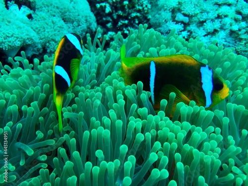 Fotografering clownfish in anemone coral