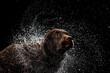 Leinwandbild Motiv Water splashes. Portrait of chocolate color big Labrador dog playing, bathing isolated over dark background. Beauty and grace.