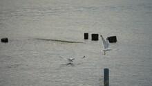 A Seagull In Flight Hunts Fish