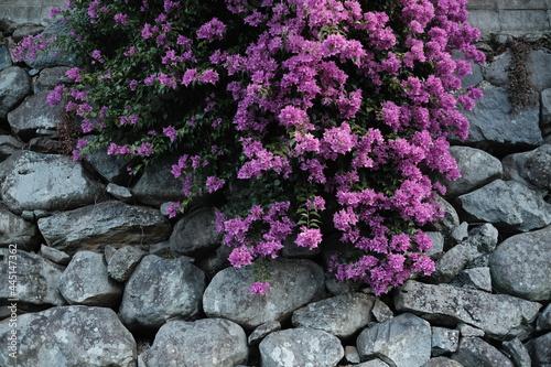Murais de parede 石の壁に花,壁と花,長崎の路地裏,花, 庭, ピンク, 自然, 植える, 紫, とぶ, 咲く, サマータイム, 全盛期, 公園, 植物, 美しさ, ブッシュ,