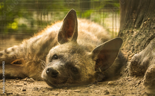 Fotografija Spotted Hyena is resting and sleeping on the ground close to tree