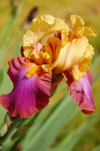 Single Gold And Purple Blooming Iris Flower