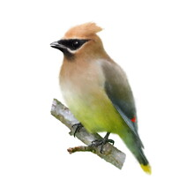 The Cedar Waxwing (Bombycilla Cedrorum), Beautiful Bird On The Branch, Hand Drawn Isolated On A White Background. Animal For A Diy Project, Printing On Fabric, Stickers Or Posters.