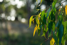 Green Gum Leaves With New Growth And Bokeh Background